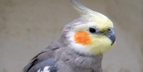 O tipo de ração ideal para o seu pássaro