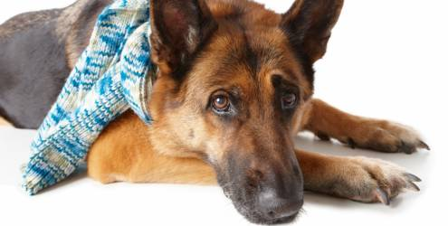 Como prevenir doenças respiratórias nos cães