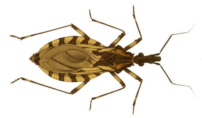 Tudo o que você sabia sobre a doença de Chagas está errado | Veja ...