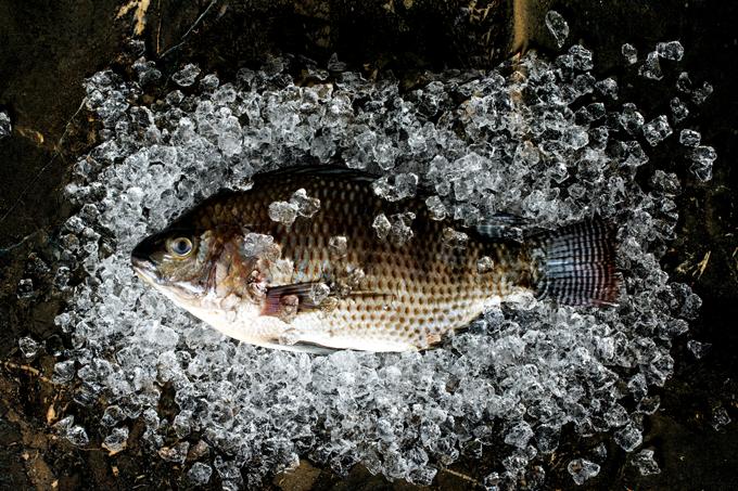 Tilápia: propriedades nutricionais desse peixe