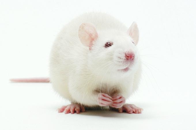Dá pra criar remédios sem pesquisas em animais?