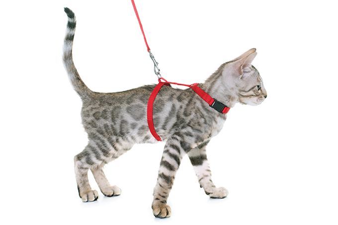 Passear com gatos é um bom hábito?