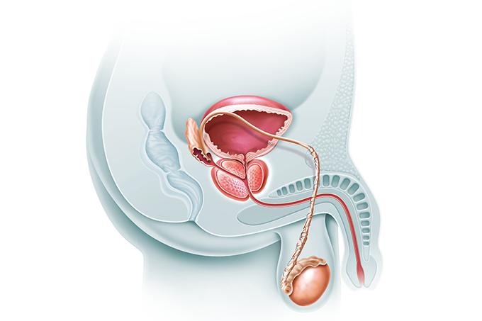 Novembro Azul: o que é a próstata?