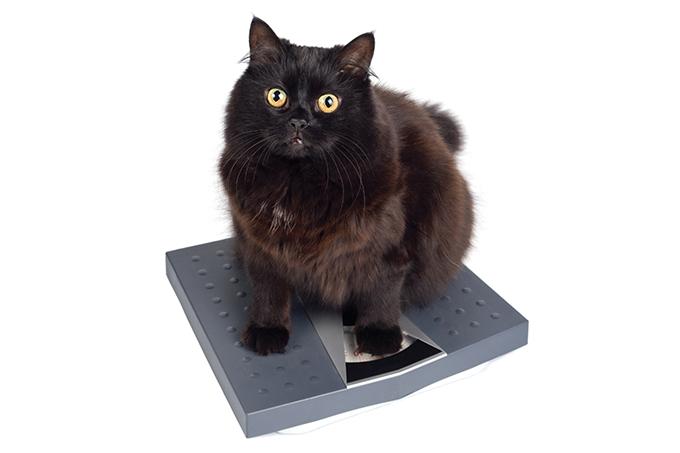 Como emagrecer os gatos?