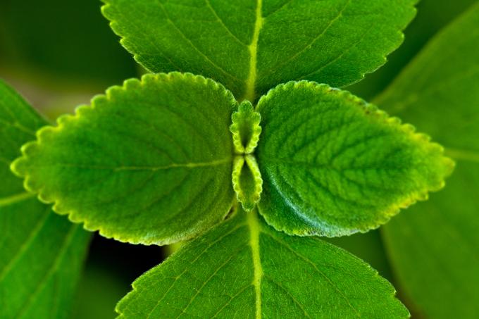 Há benefícios do chá de boldo contra coronavírus?