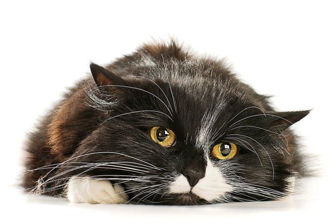 Coronavírus: felinos transmitem?