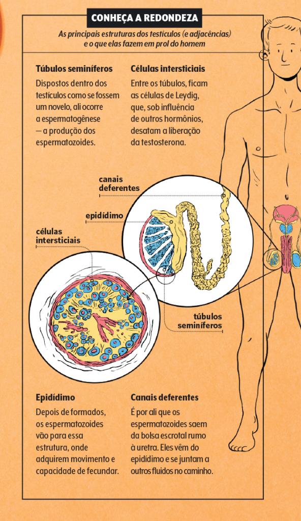 Como funcionam os testículos