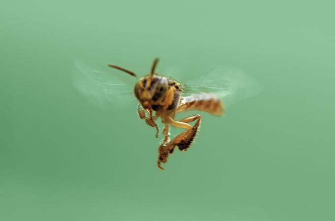 abelhas sem ferrão